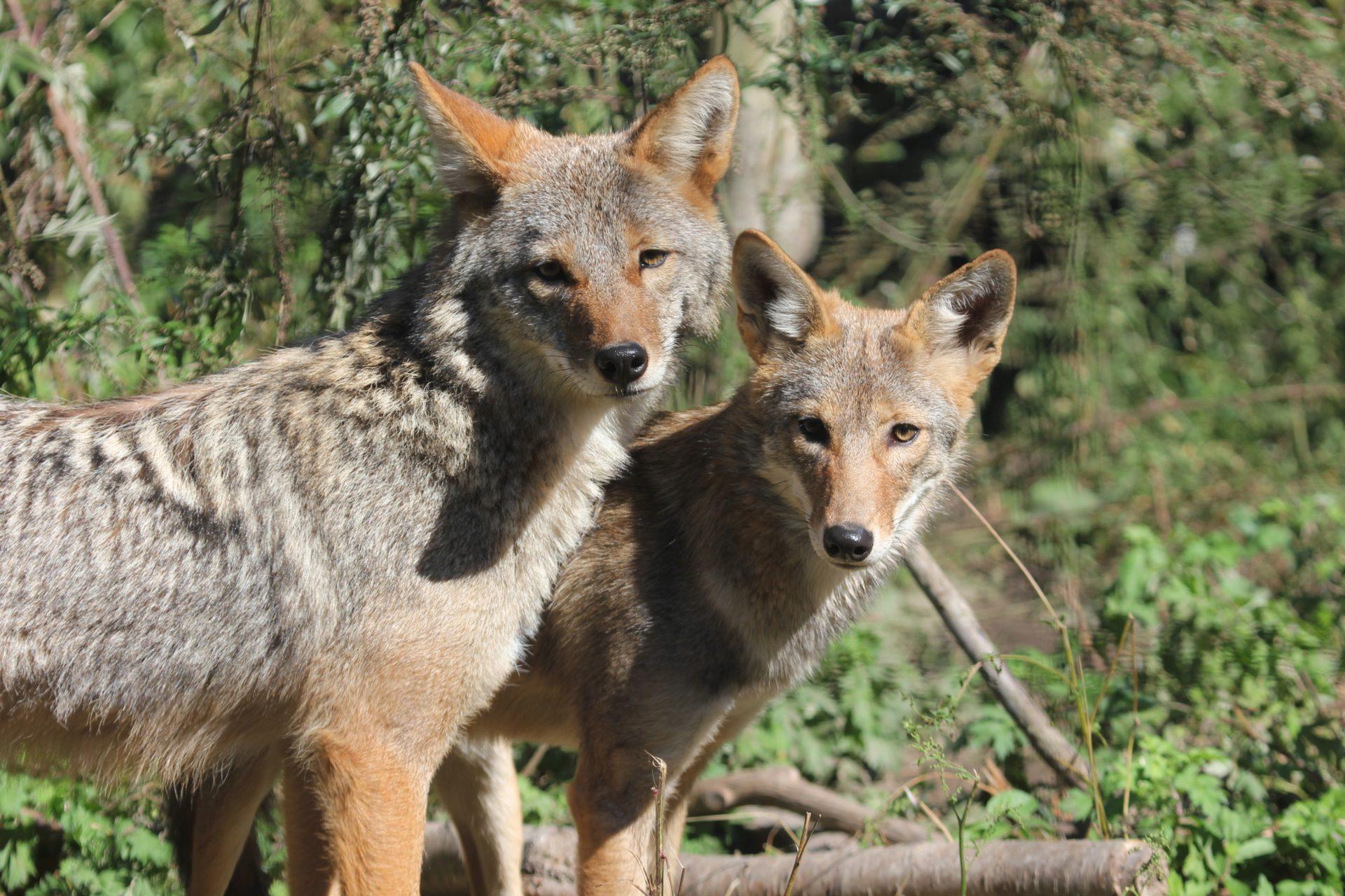 New coyote the latest addition to zoo's animal ambassador program