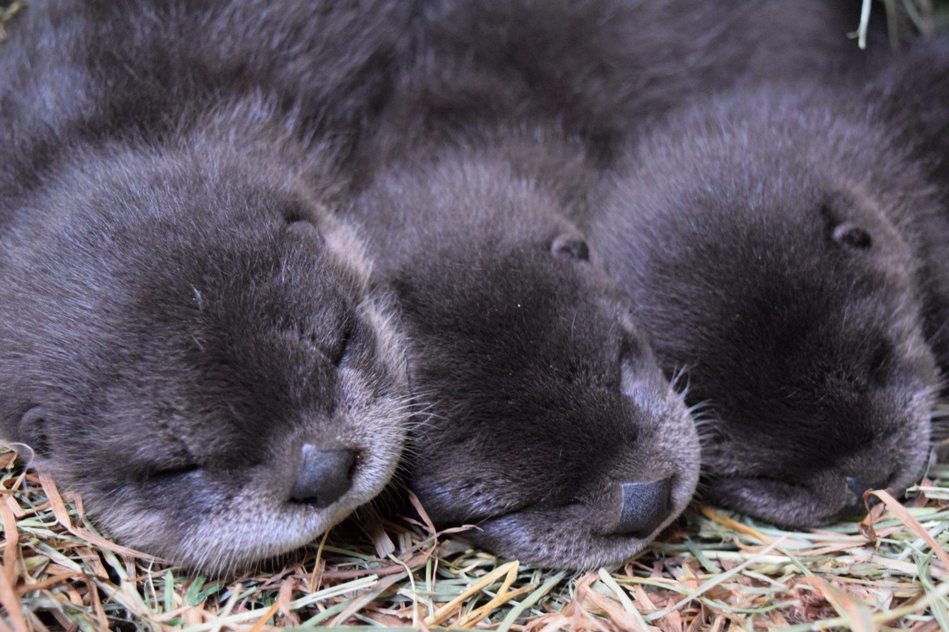 Meet Buttonwood Park Zoo's 3 new furry, adorable otter babies