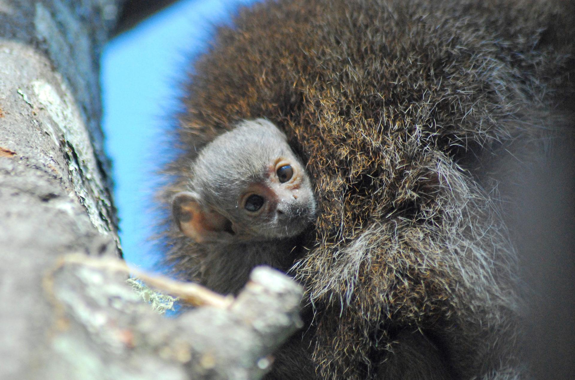 Buttonwood Zoo celebrates birth of first monkey