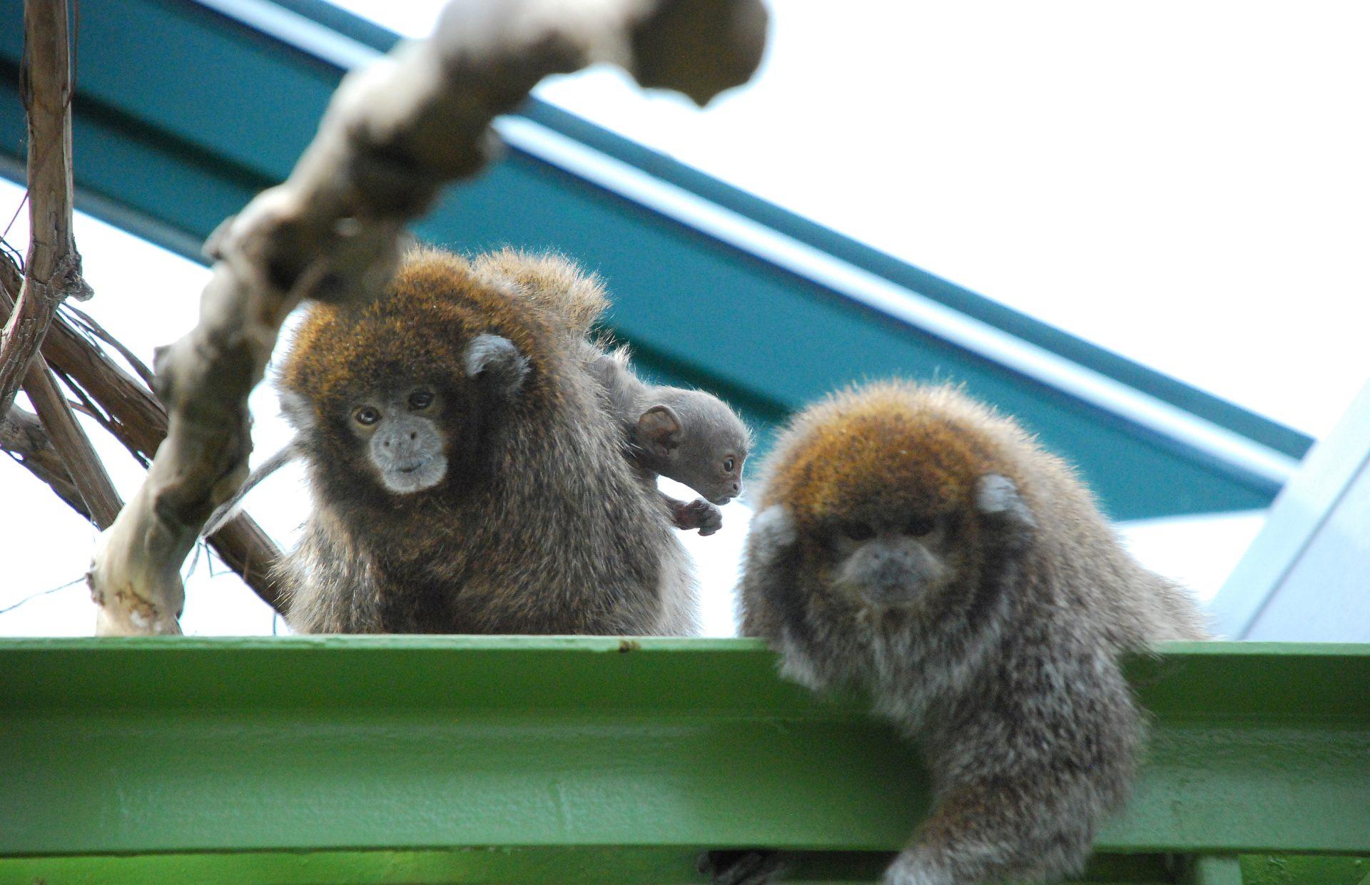 Cute monkey born at Buttonwood Park Zoo