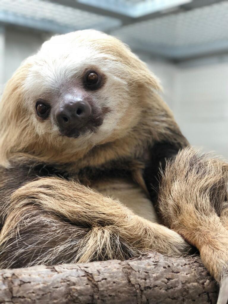 Buttonwood Park Zoo welcomes Bernardo the sloth