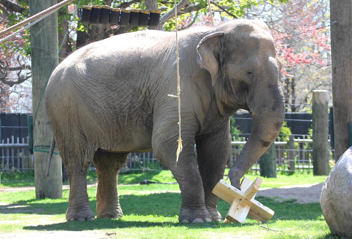 New Elephant Enrichment Toys Courtesy of Mass Art