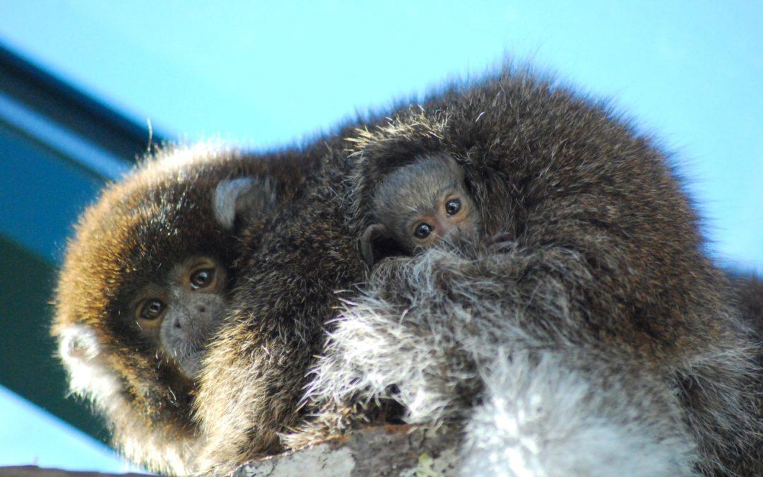 Oh baby! Bolivian gray titi monkey born at Buttonwood Park Zoo