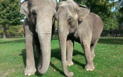 An Update on Asian Elephant Ruth