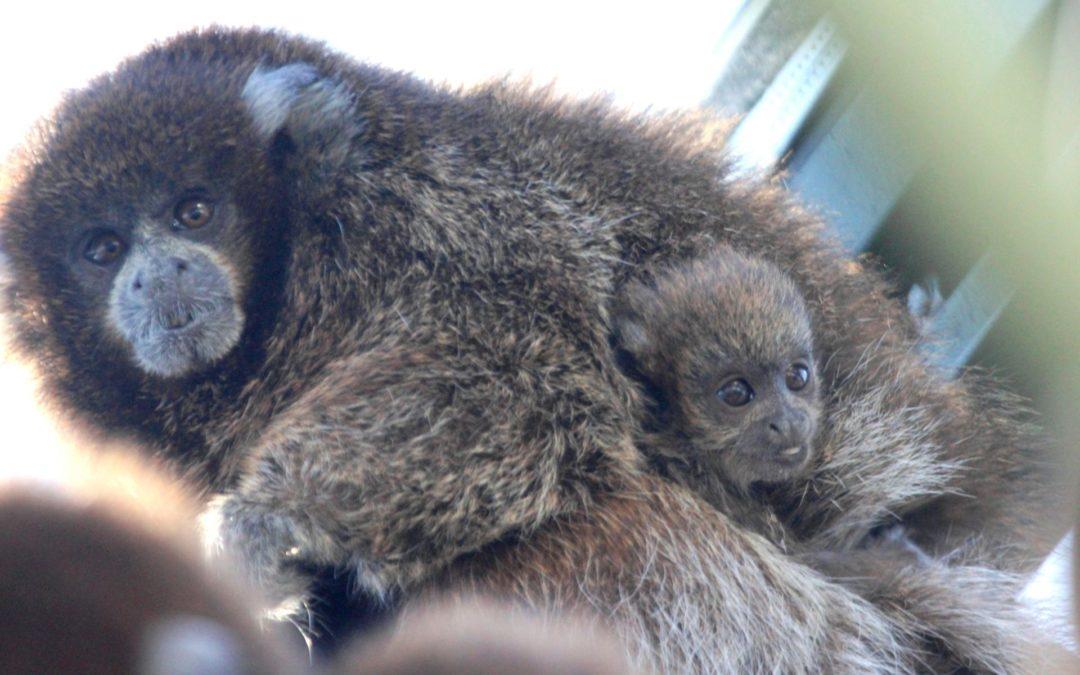 BPZOO Celebrates Birth of Third Bolivian Gray Titi Monkey Baby