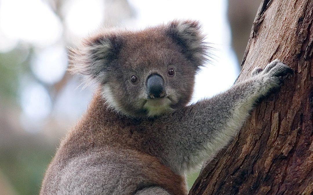 Raising Funds for Australian Wildlife Devastated by Bushfires