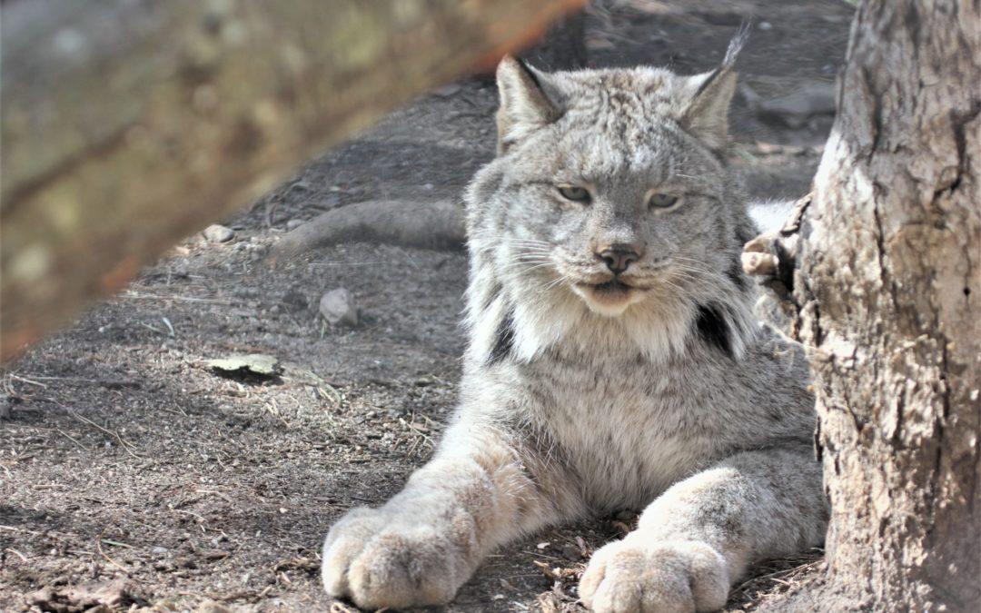 BPZOO Welcomes a New Lynx