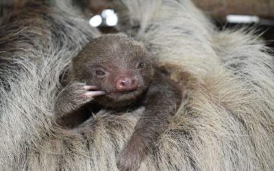 A Baby Sloth at BPZOO!